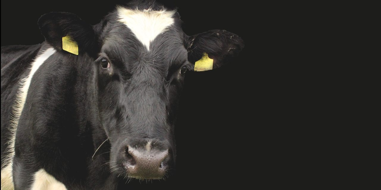 Dairy Company Admit that Industrialized Dairy Farming is Unsustainable