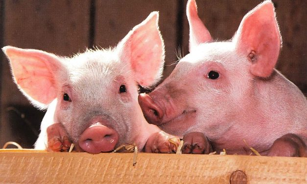 9 Reasons Why Pigs are Basically Just Pink Dogs